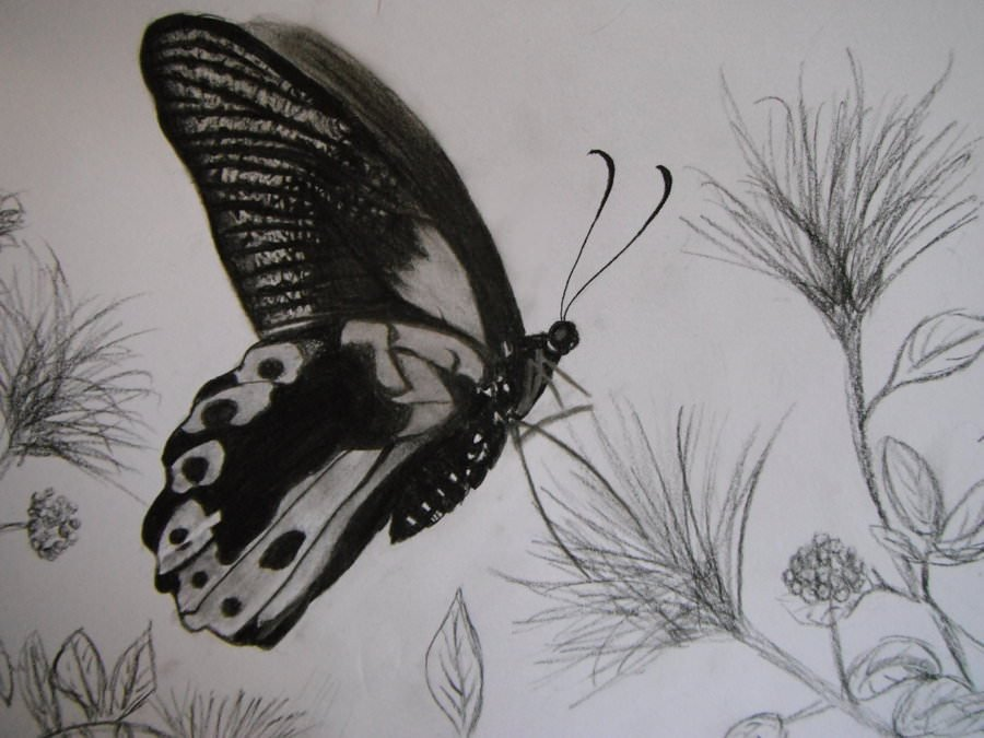 Butterfly Drawings In Pencil 13 butterfly Drawings Jpg Download