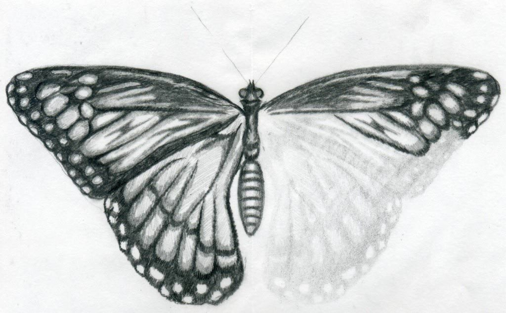 Butterfly Drawings In Pencil butterfly Drawings