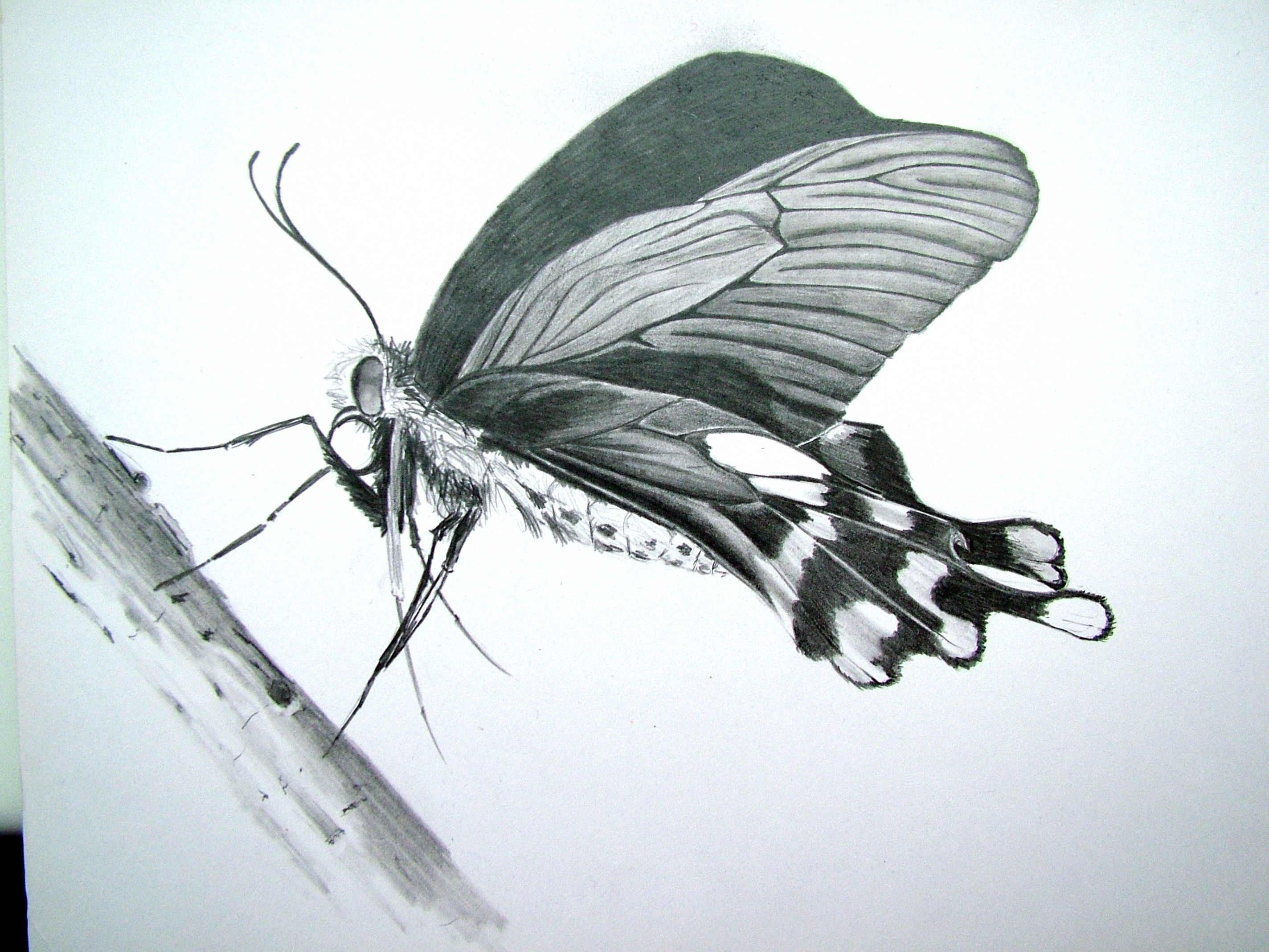 Butterfly Drawings In Pencil butterfly Pencil Drawing Paint Shop