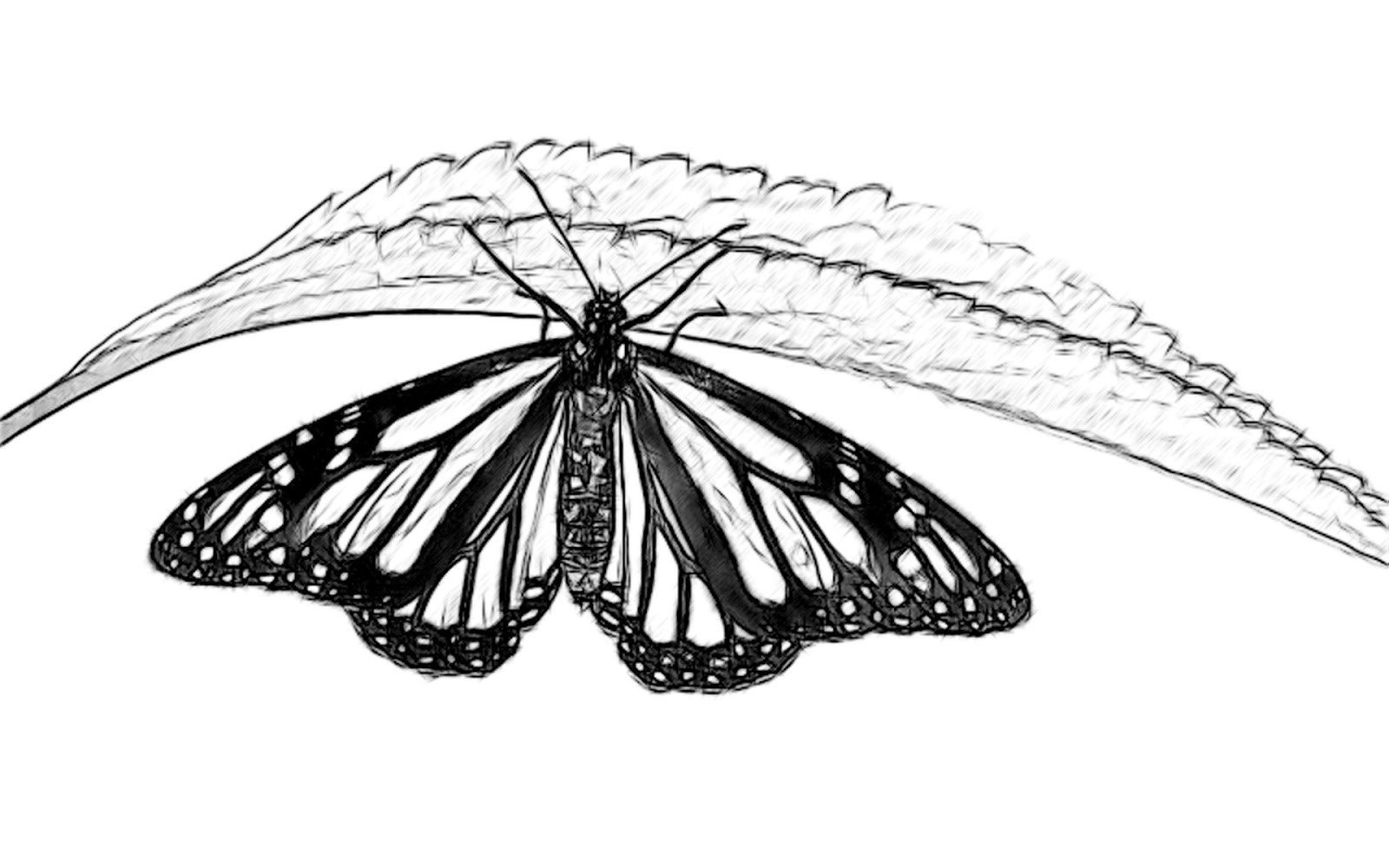Butterfly Drawings In Pencil Line Drawing Pencil and Charcoal Art Galleries butterfly