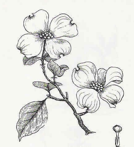 Dogwood Flower Outline Drawn Branch Dogwood Pencil and In Color Drawn Branch