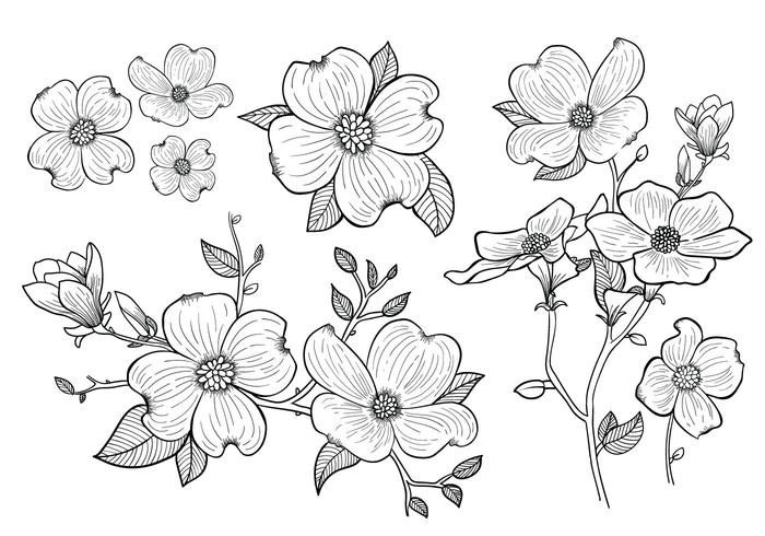 Dogwood Flower Outline Hand Drawn Dogwood Flowers Download Free Vector Art