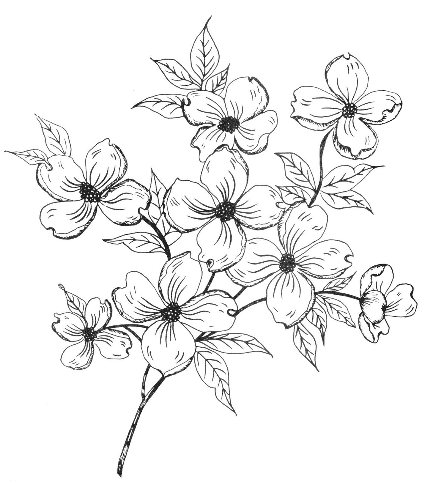 Dogwood Flower Outline White Flower Clipart Dogwood Pencil and In Color White