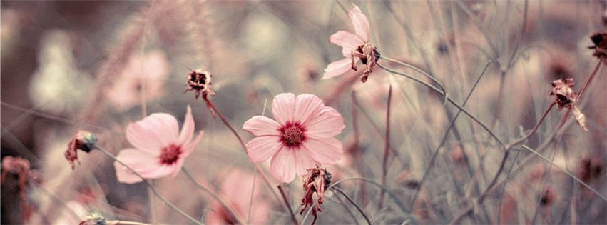 Facebook Cover Photos Flowers Pink Flowers Cover S for 28 Desktop
