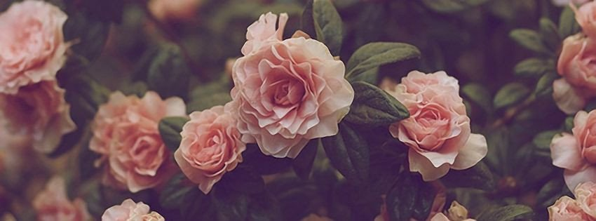 Facebook Cover Photos Flowers Roses Covers 2014 Flowers 3905profile