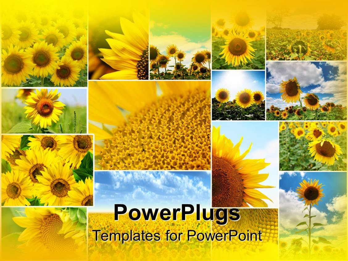 Powerpoint Photo Collage Template Powerpoint Template Collage Of Sunflowers In Various